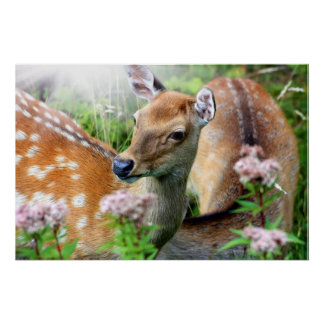 Sika deer close up in the wild posters
