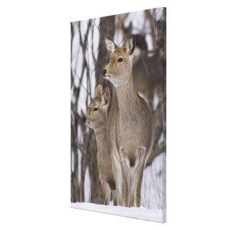 Sika Deer Doe and Young, Hokkaido, Japan Canvas Print