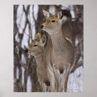 Sika Deer Doe and Young, Hokkaido, Japan Print