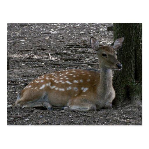 Sika deer postcard
