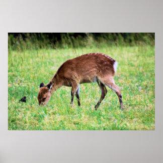 Sika Deer Posters