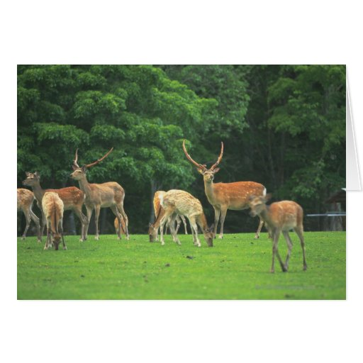 Sika deer standing in a clearing greeting cards
