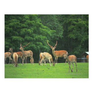 Sika deer standing in a clearing postcard