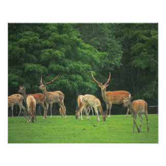 Sika deer standing in a clearing posters