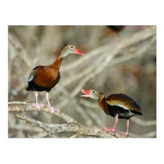 Silbar-Pato Negro-hinchado Tarjeta Postal