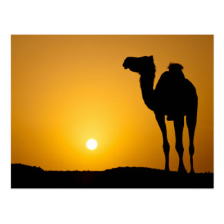 Silhouette of a wild camel at sunset postcard