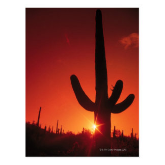 Silhouette of cactus at dusk , Saguaro National Postcard