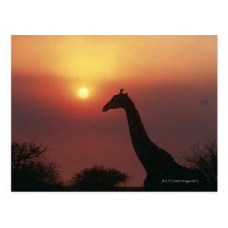 Silhouette of Giraffe (Giraffa Camelopardalis) Postcard
