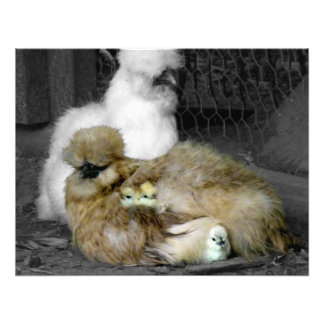 Silkie Chickens with Chicks Photograph