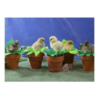 Silkie Chicks in Bloom Posters