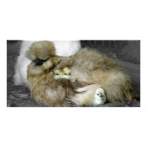 Silkie Hens with Chicks Peeking out of Feathers Card