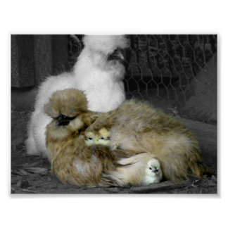 Silkie Hens with Chicks Peeking out of Feathers Poster