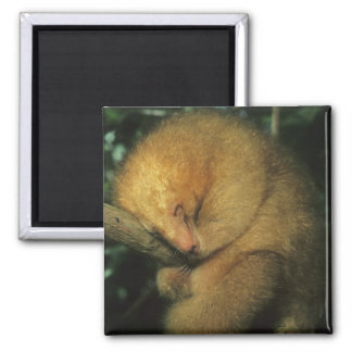 Silky Pygmy) Anteater, Cyclopes didactylus), 2 Inch Square Magnet