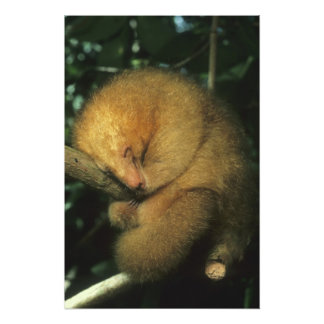 Silky Pygmy) Anteater, Cyclopes didactylus), Photographic Print
