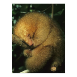 Silky Pygmy) Anteater, Cyclopes didactylus), Postcard