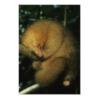 Silky Pygmy) Anteater, Cyclopes didactylus), Poster