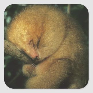 Silky Pygmy) Anteater, Cyclopes didactylus), Square Sticker