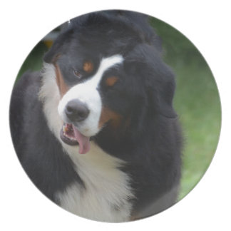 Silly Bernese Mountain Dog Party Plates