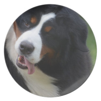 Silly Bernese Mountain Dog Plates