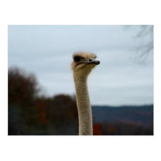 Silly Bird Photo Ostrich Face Head Closeup Postcard