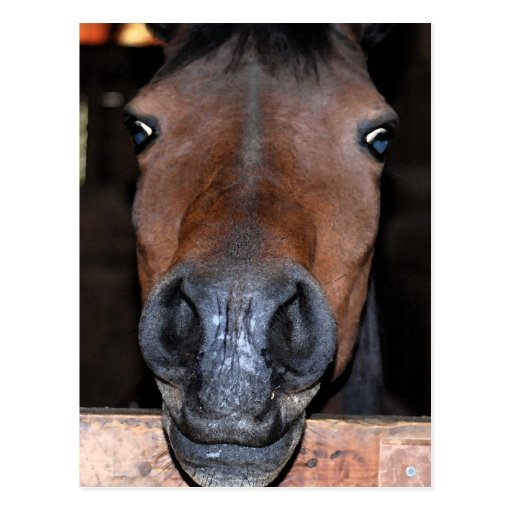 silly brown horse head postcard