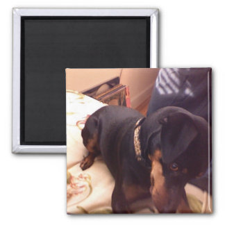 Silly Min Pin 2 Inch Square Magnet