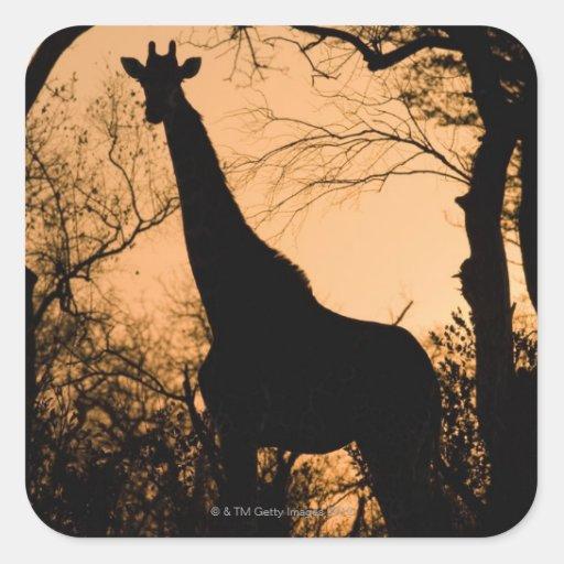 Silueta de la jirafa (camelopardalis del Giraffa) Calcomania Cuadradas Personalizada