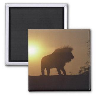 Silueta del león imanes para frigoríficos