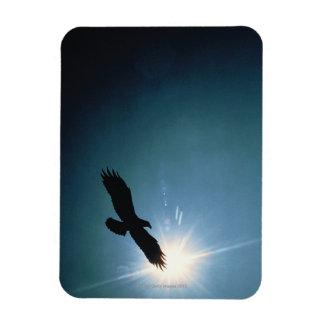 Silueta del vuelo del águila calva en cielo imán rectangular