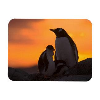 Siluetean a un adulto y un polluelo del pingüino d imán rectangular