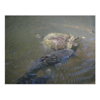 Siluro del río y postal de la tortuga