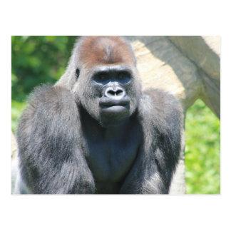 Silver Back Gorilla Postcard