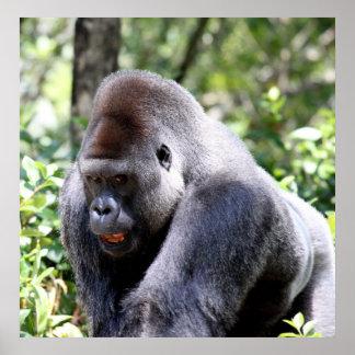 Silver Back Gorilla Poster