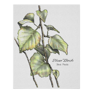 Silver Birch Posters
