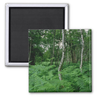 Silver birch trees and ferns, Sherwood Forest 2 Inch Square Magnet