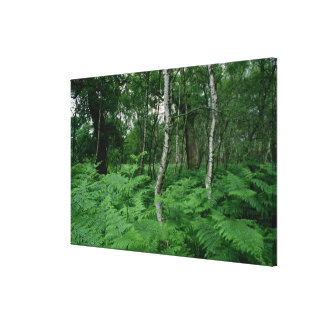 Silver birch trees and ferns, Sherwood Forest Canvas Print