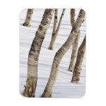 Silver Birch Trees in snowy landscape Magnet