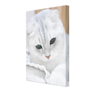 Silver gradient scottish fold cat canvas print