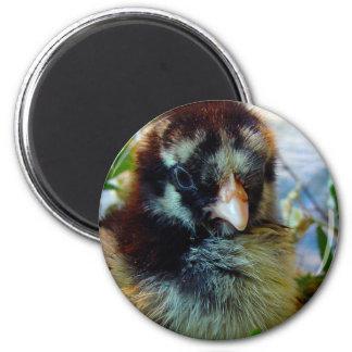 Silver Laced Cochin Chick in Studio Setting Refrigerator Magnet