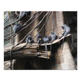 Silver Langur Monkey Troop with Baby Photo Print