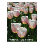Silver pink tulips postcards