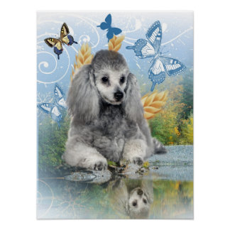 Silver poodle enjoys reflection poster