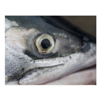 Silver Salmon Face Postcard