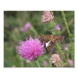 Silver-spotted Skipper Photo Print