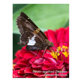 Silver-spotted Skipper Postcard