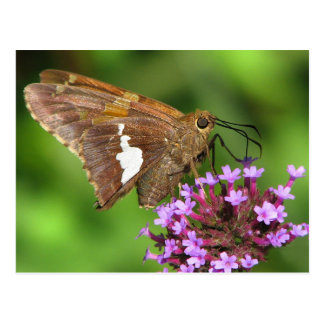 Silver Spotted Skipper Postcard