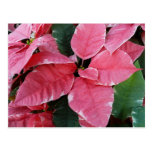 Silver Star Marble Poinsettias Pink Holiday Floral Postcard