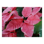 Silver Star Marble Poinsettias Poster Print