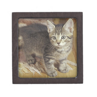 Silver tabby kitten, eight weeks old gift box
