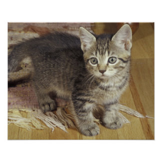 Silver tabby kitten, eight weeks old poster